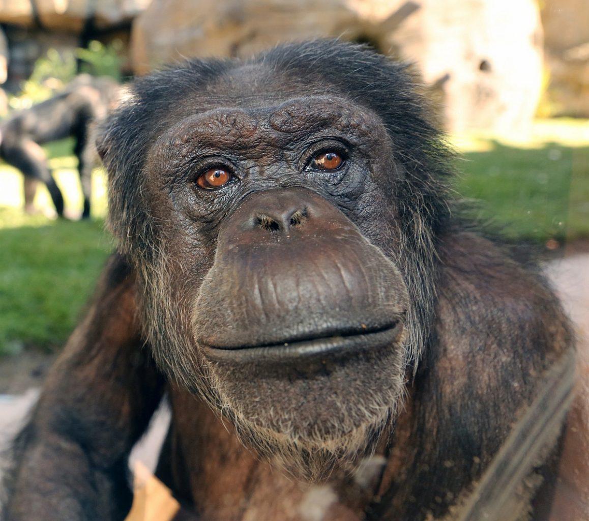 Schimpansen-Weibchen Jeany Gestorben